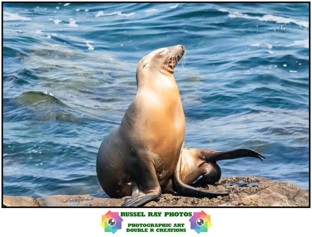 Sea lion at La Jolla Cove in La Jolla, California