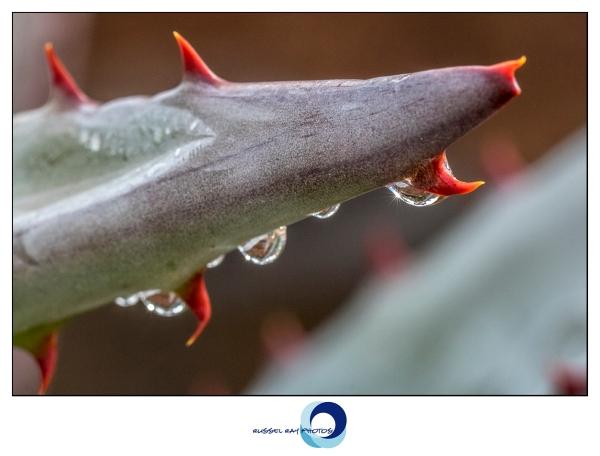Raindrops on cactus macro picture