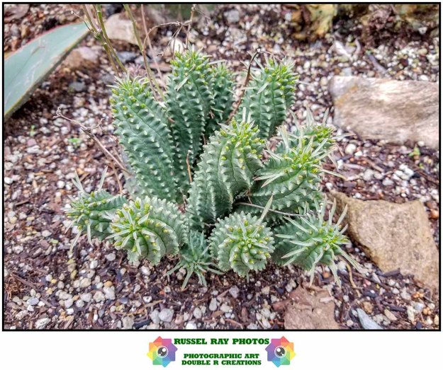 Euphorbia spiralis