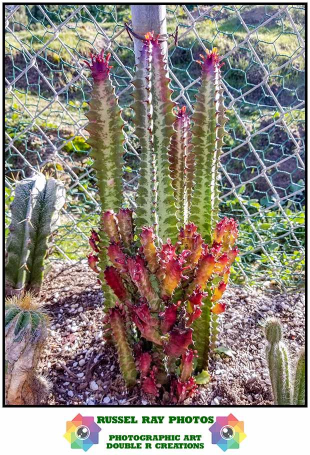 Euphorbia trigona 'Rubra'