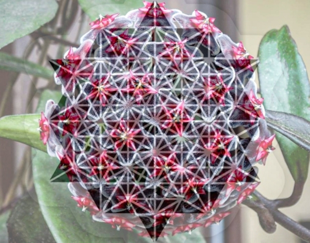 Star-tetrahedron superimposed on Hoya pubicalyx 'Red Buttons'
