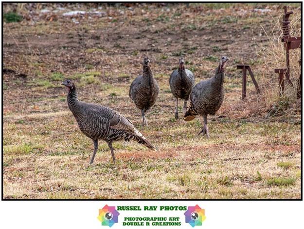 Turkeys in Julian, California